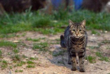 Australia Extermina Gatos